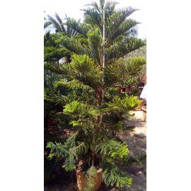 L'Araucaria Heterophylla