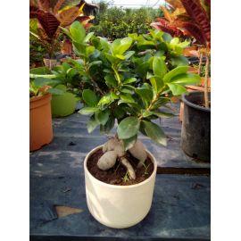 Ficus Ginseng en pot céramique