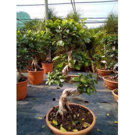 "Ficus microcarpa en forme ""S"""