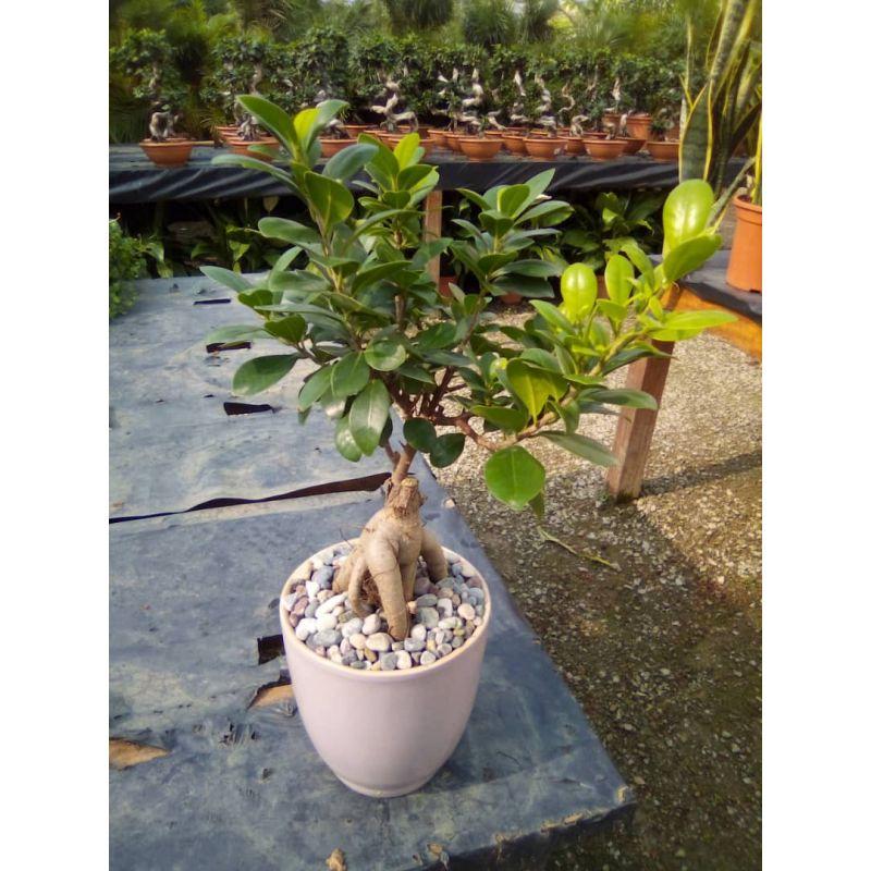 Ficus microcarpa